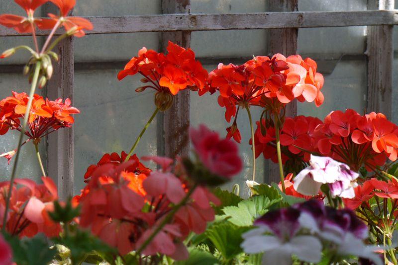 Red-geraniums2