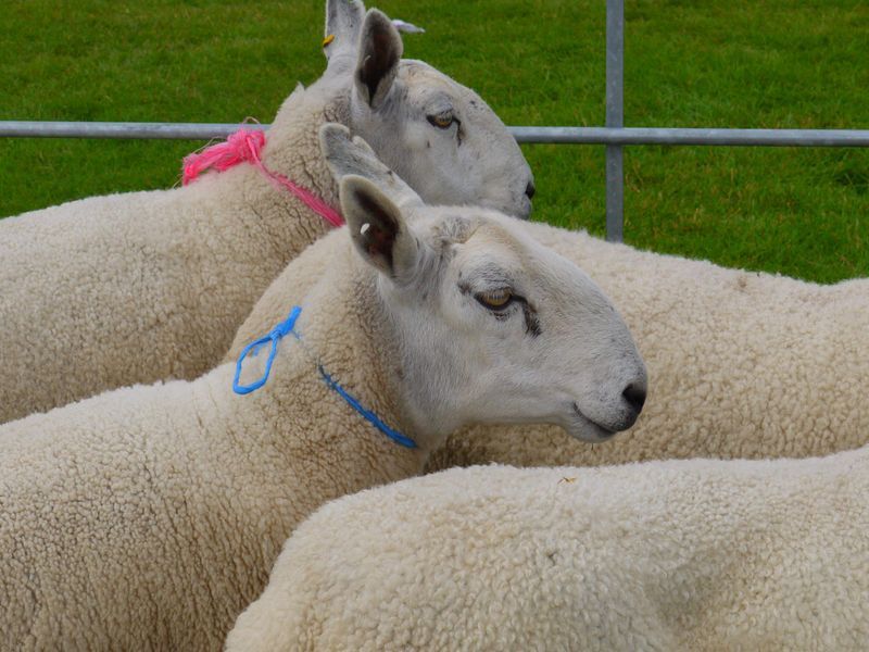 Sheep-w-ribbons