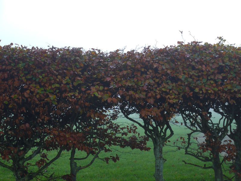 Mist-beech-hedge