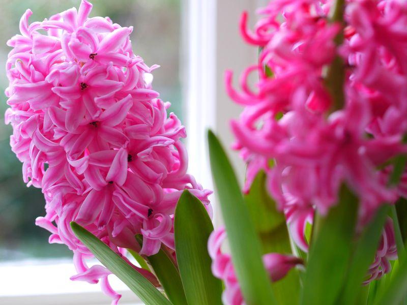Pink-hyacinths-1