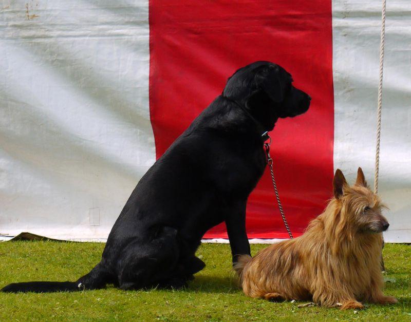 2-doggies,-tent