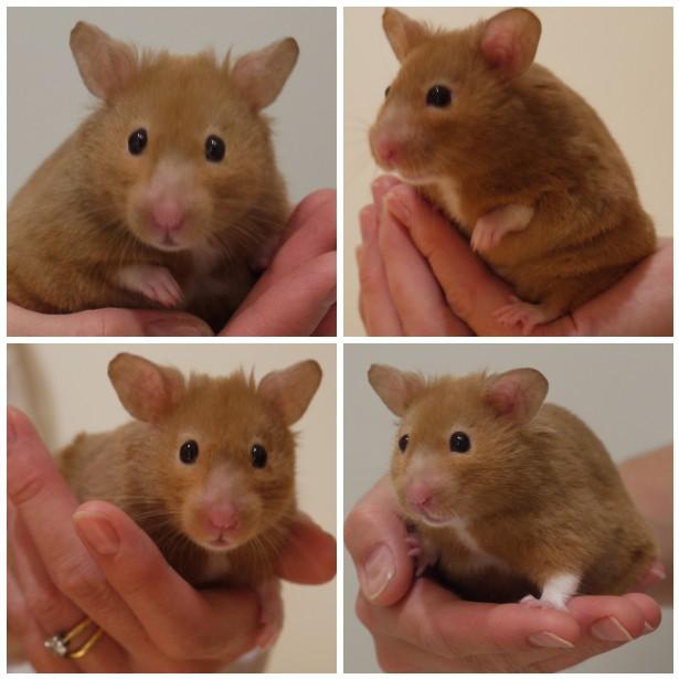 Mosaic bob, hamster
