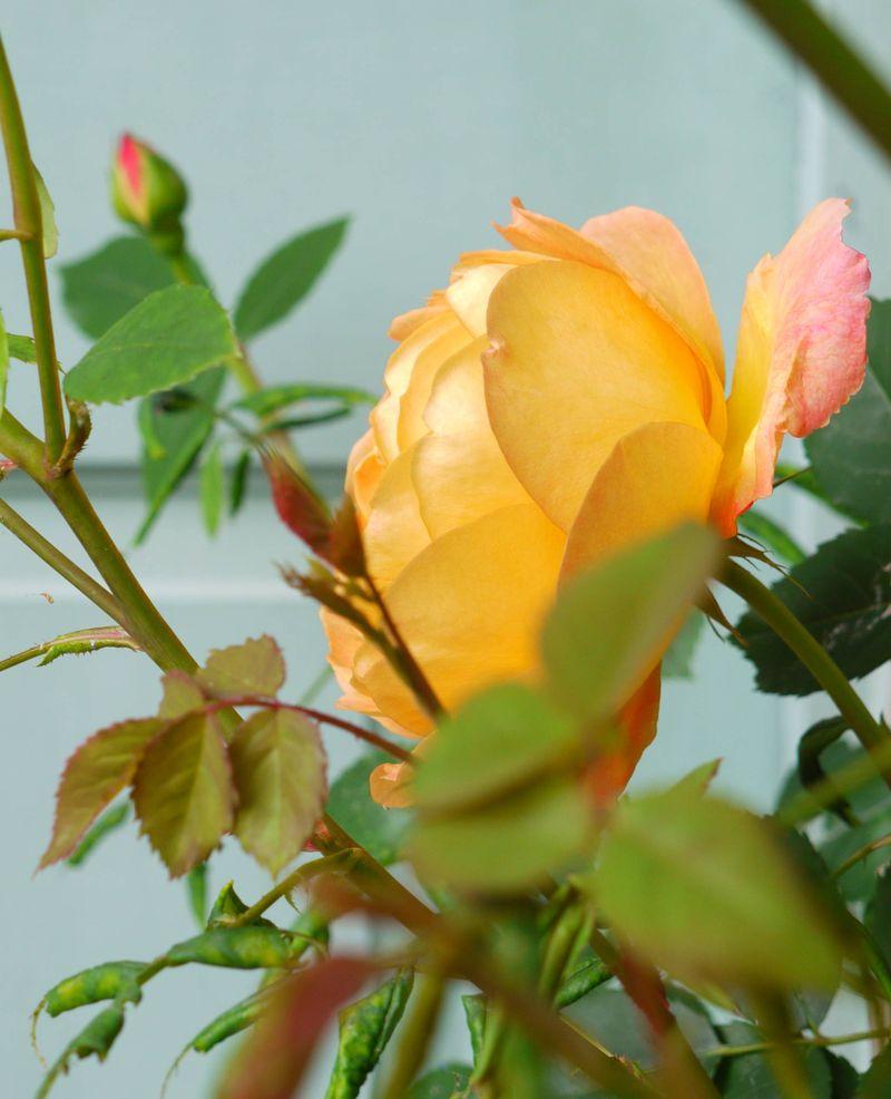 Yellow-rose,-side