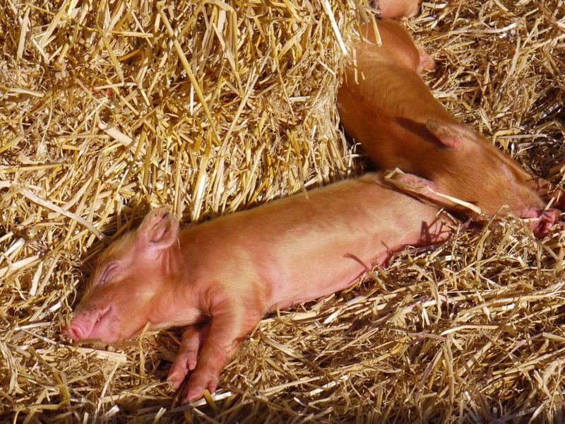 Piglet-bliss,-full-pic