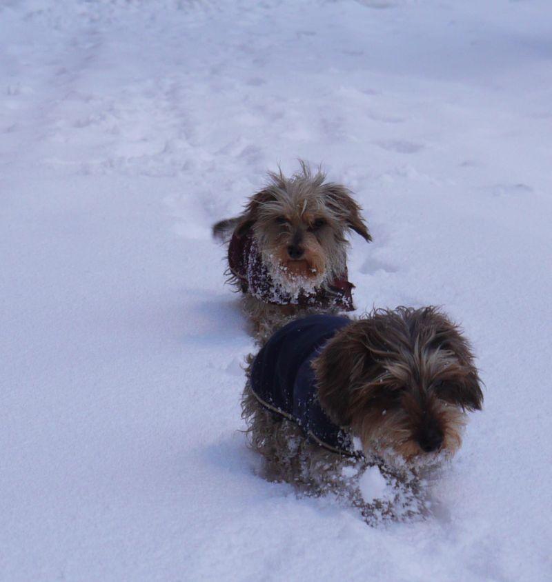 Dogs,-snow-beards