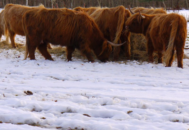 Highland-cows