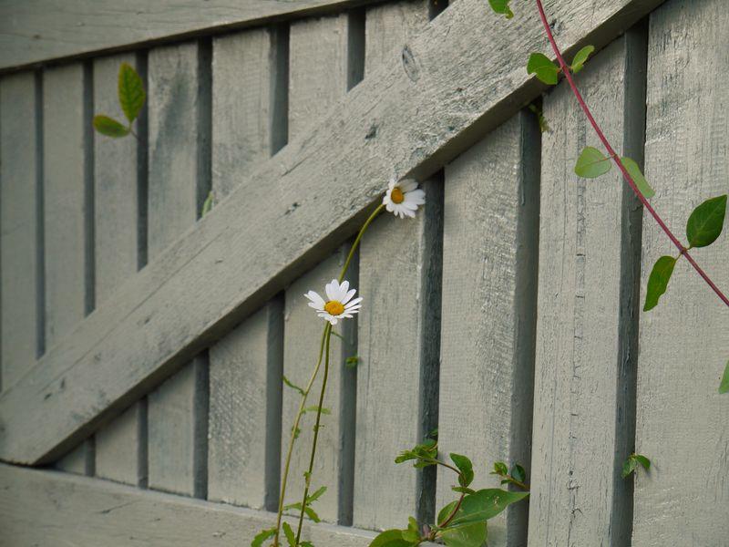 Daisy-against-gate