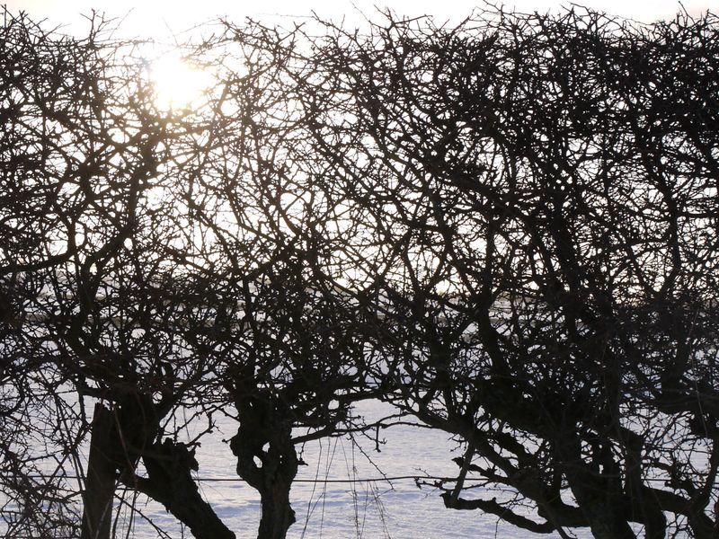Hedge,-snow