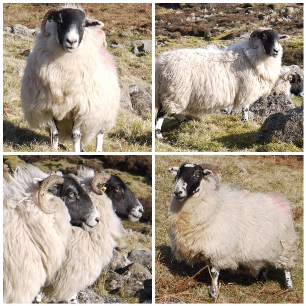 Mosaic sheep, walk