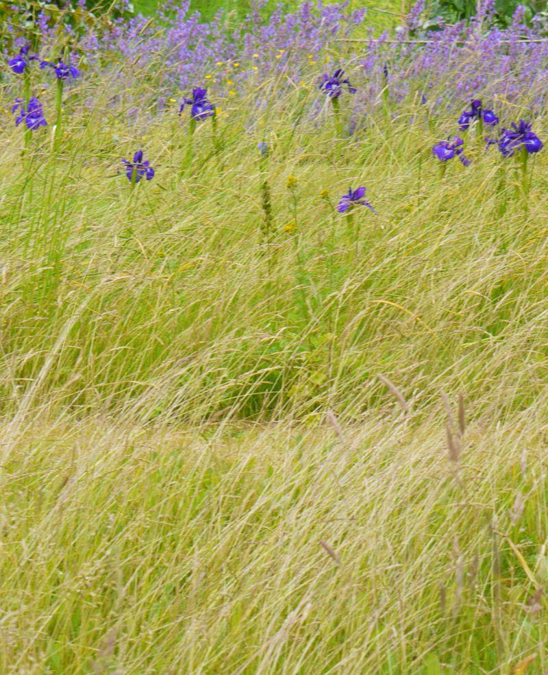 Iris-in-grass