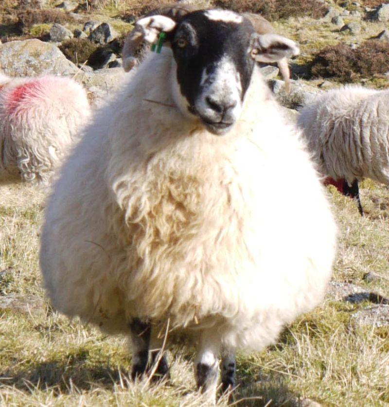 Sheep-mos-6