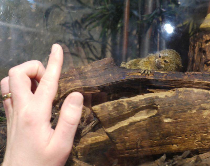 THE-marmoset-pic