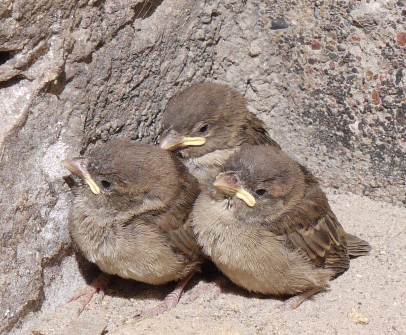 Baby-sparrows,-close