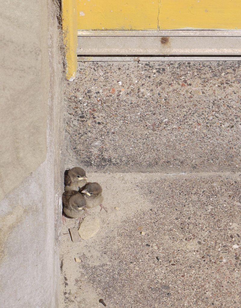 3-sparrows