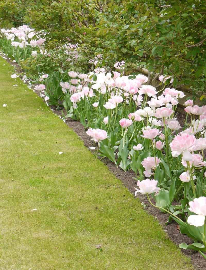 Tulip-bed