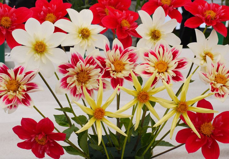 Chrysanth-2-fp