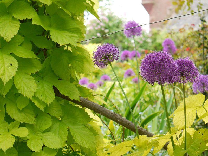 Alliums,-f.p.