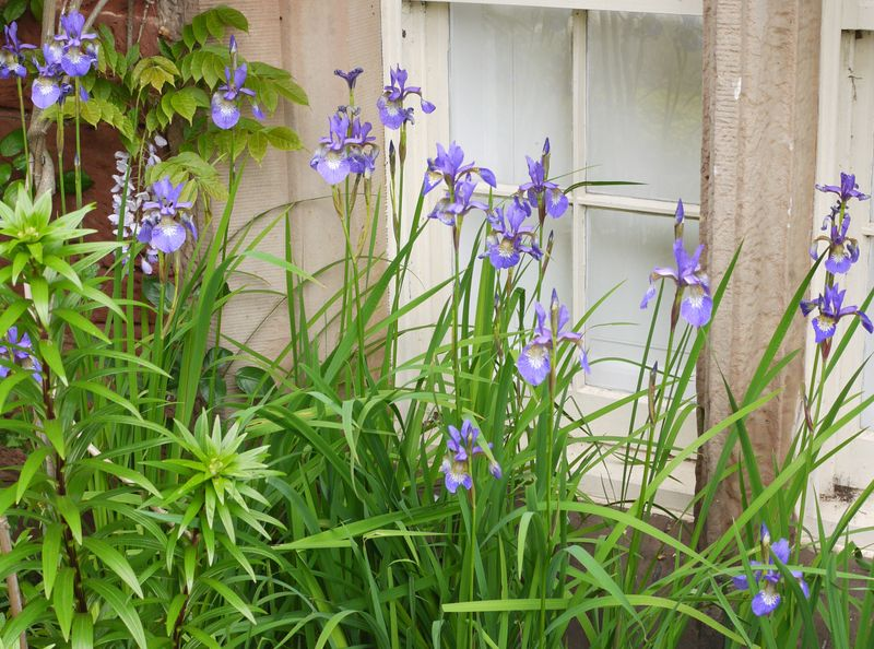 Iris-at-window