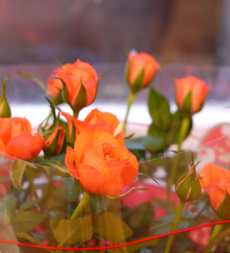 Roses,-mos