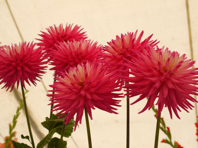 Chrysanths,-up-high