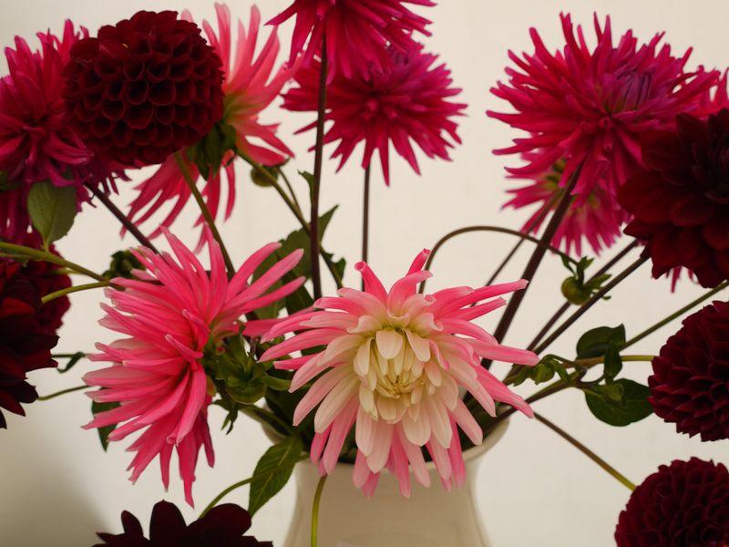 Chrysanth-fp