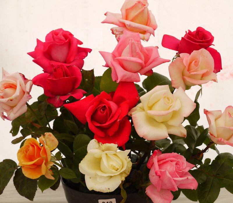 Rose-display