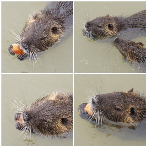 Mosaic coypu eating