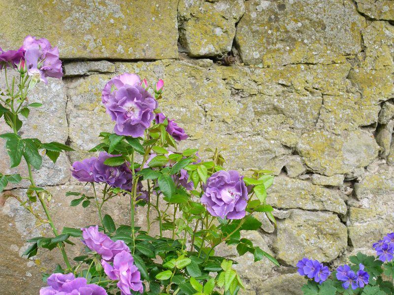 Rose,-rhap-in-blue,-wall