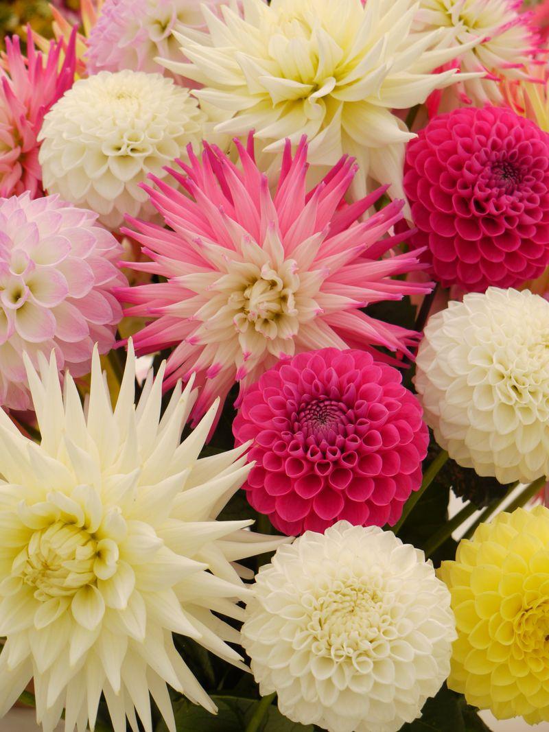 Flowers-chry-fp