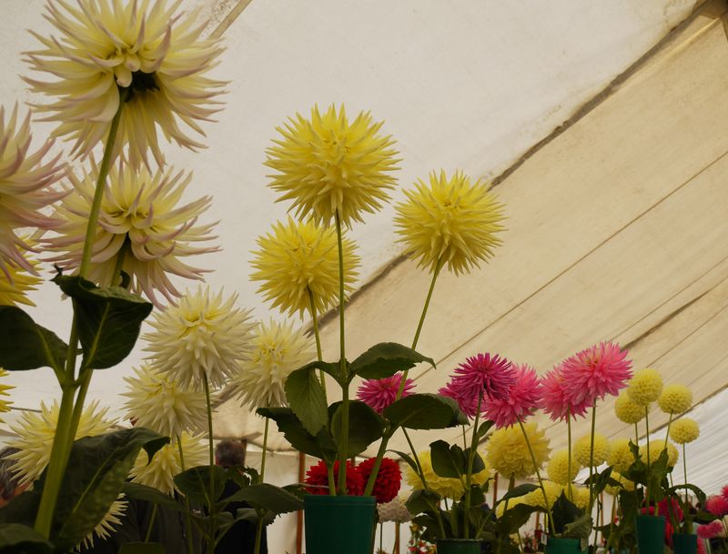 Chrysanths-from-below