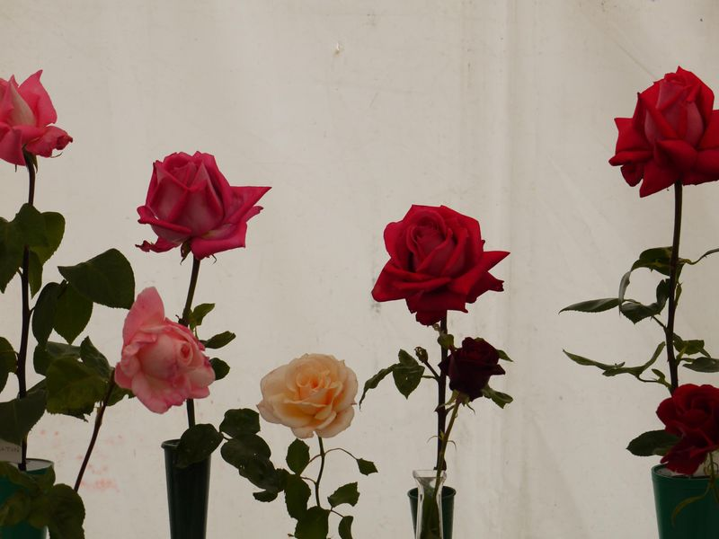 Roses,-single-stem