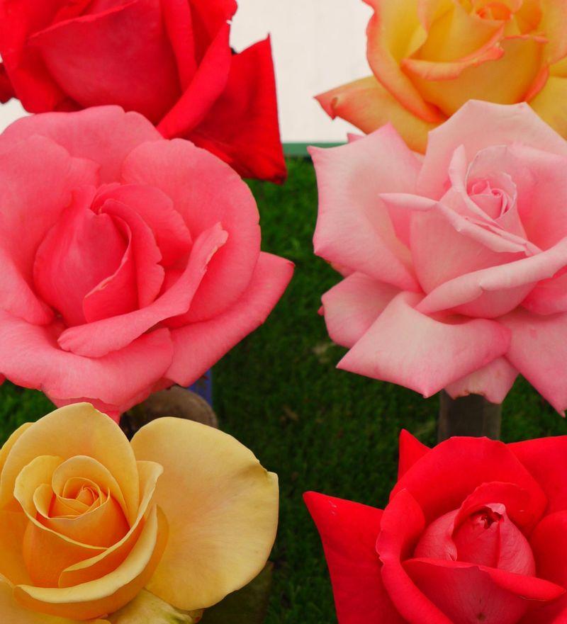 Rose-heads-close