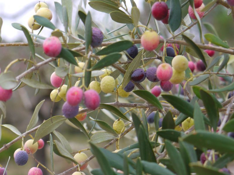 Olive-colours-fp