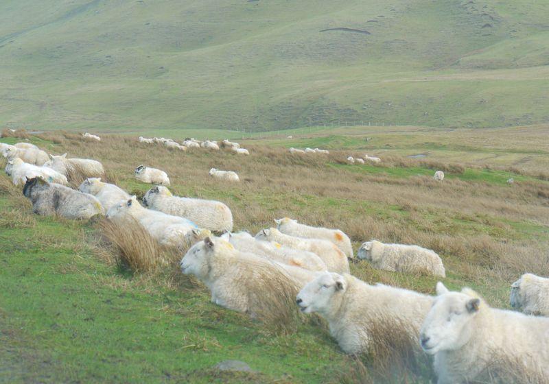 Sheep-sitting