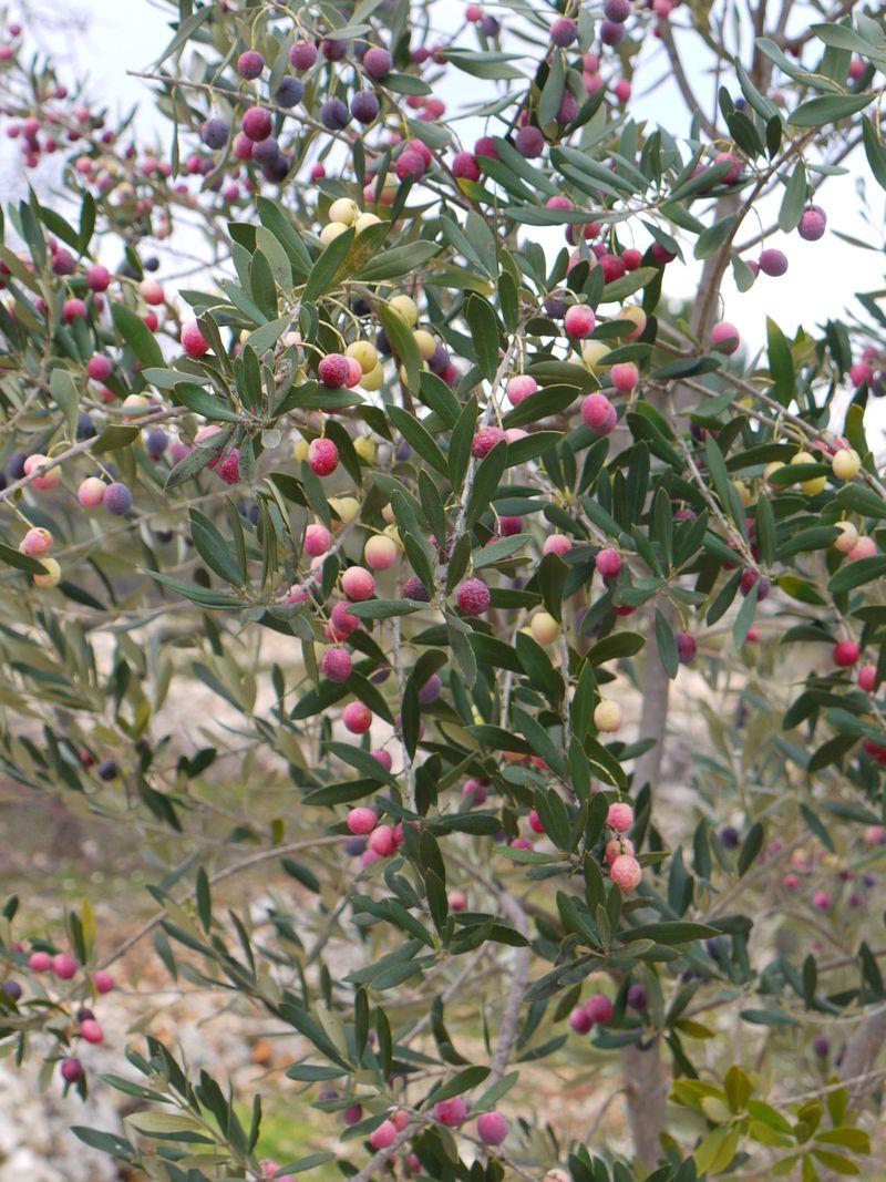 Olive-tree-fp-3